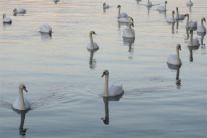 Buy six swans, get the seventh swan free!
